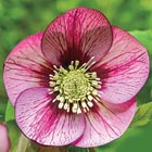 Brecks Helleborus Category