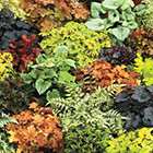 Brecks Heuchera Category