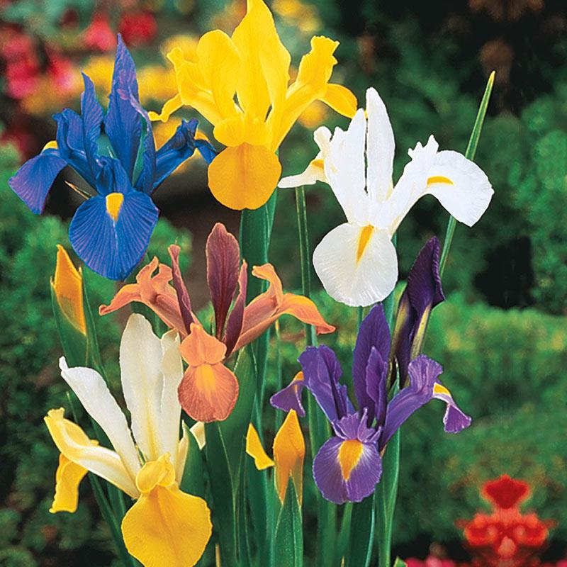 Iris fbr