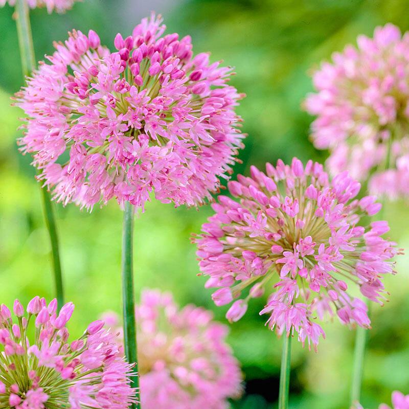 Buy Nutans Allium Bulbs Breck S