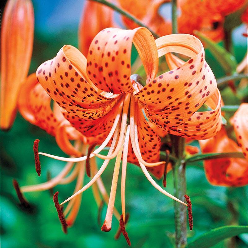 Shop Orange Tiger Lily | Breck's