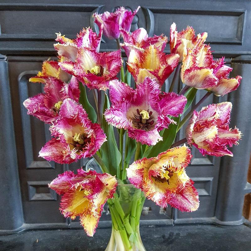 Buy Colour Fusion Tulip Breck S