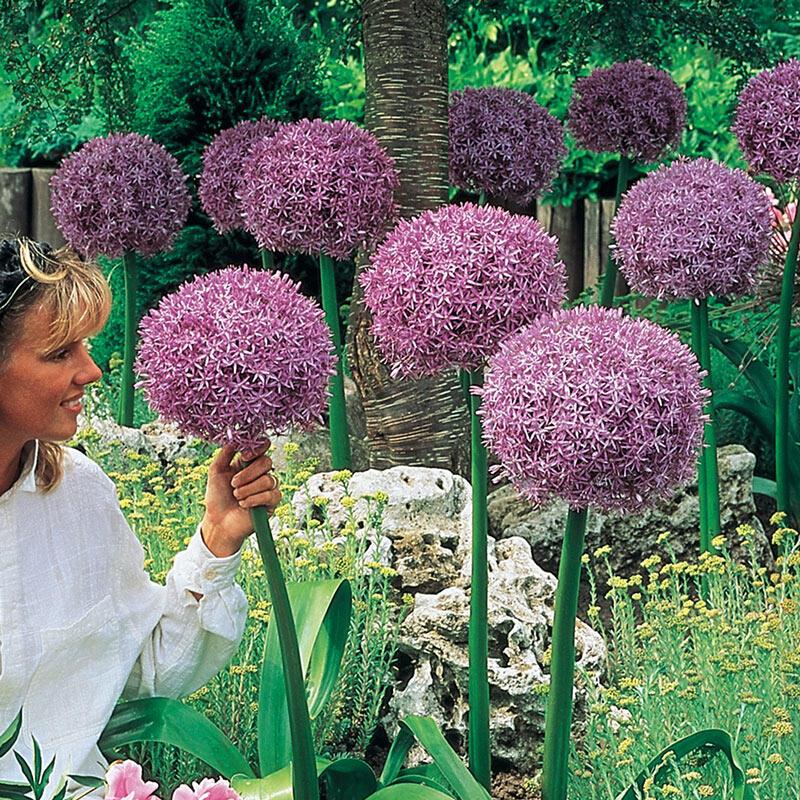Shop Beau Regard Allium Breck S