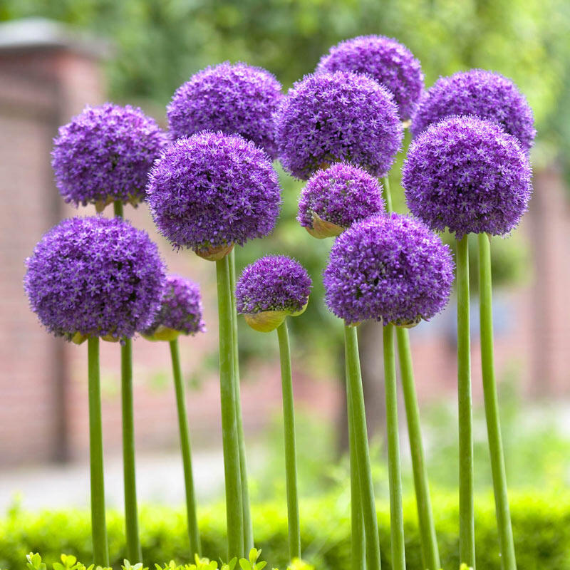 Buy Gladiator Allium Best Deals On Spring Bulbs Breck S