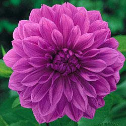 Tips & Growing Instructions: Dahlia