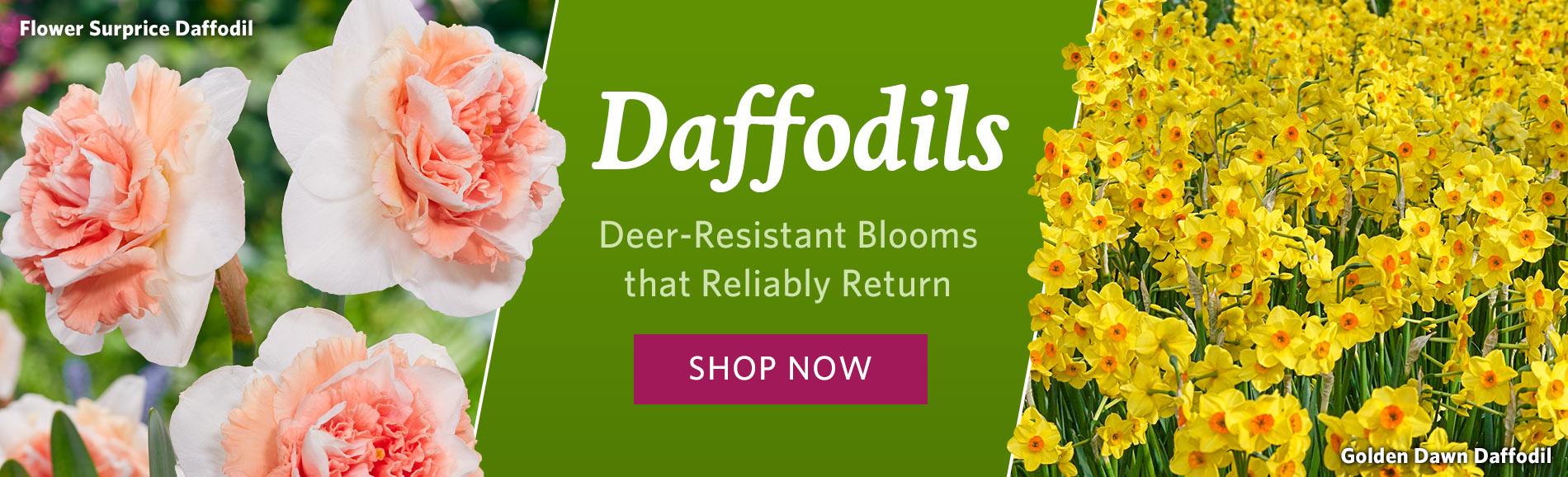 Brecks Daffodils