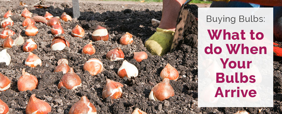What To Do When Your Bulbs Arrive