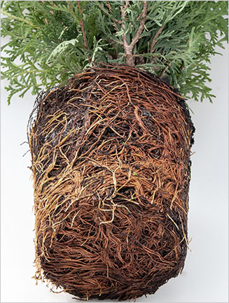 Shrub Root