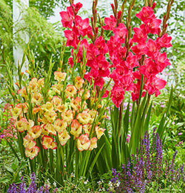 Our compact Hardy Gladiolus (left) next to standard glads.