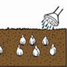watering bulbs