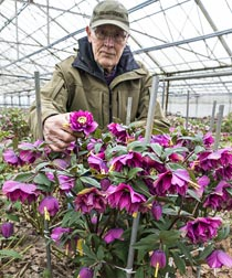 Wow!® King-Size HELLEBORES