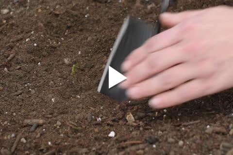 Begonia - Planting Tips