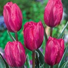 Tulip Flower Bulbs
