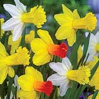 Daffodil Flower Bulbs