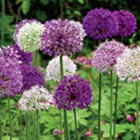 Allium Flower Bulbs