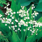 Brecks Lily-of-the-Valley Category