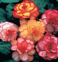 Brecks Begonias Category