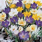 Crocus Flower Bulbs