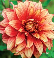 Brecks Dahlia Category