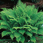 Brecks Fern Category