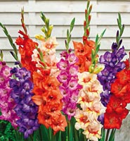 Brecks Gladiolus Category
