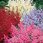 Brecks Astilbe Category