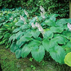 Brecks Hostas Category
