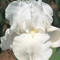 Immortality Reblooming Tall Bearded Iris