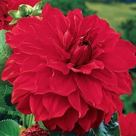 Babylon Red Dahlia