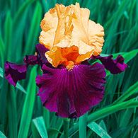 Idol Tall Bearded Iris