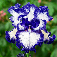 Jesse's Song Reblooming Bearded Iris