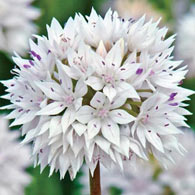 Graceful Allium