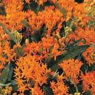 Orange Glory Flower