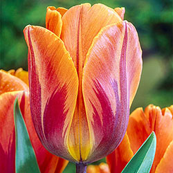 BPrincess Irene Tulip