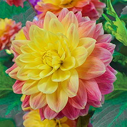 October Sky Dahlia