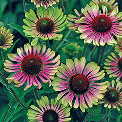 Green Twister 