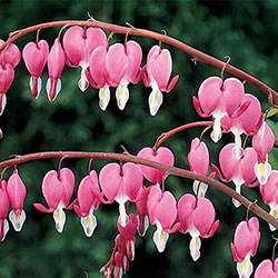 Old-Fashioned Bleeding Heart