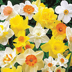Mixed Daffodil Super Sak<sup>®</sup>