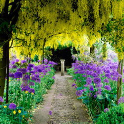 Persian Blue™ Allium