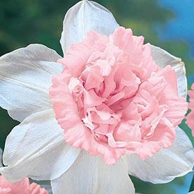 Petit Four Daffodil