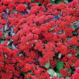 Desert Red Sedum