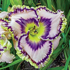 Here Lies Butch Daylily