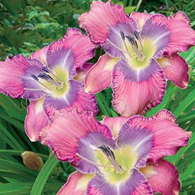 Mildred Mitchell Reblooming Daylily