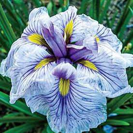 Greywoods Catrina Japanese Iris