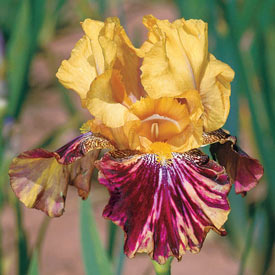 Ziggy Reblooming Bearded Iris