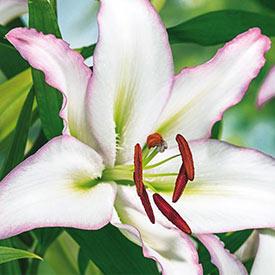 Brasillia Oriental Lily