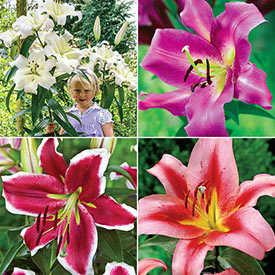 Exquisite Lily Tree® Collection
