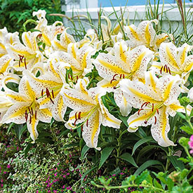Gold Band Oriental Carpet Border Lily™