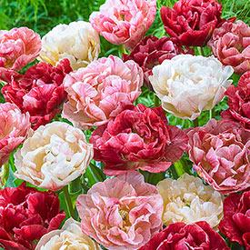 Peptalk Tulip