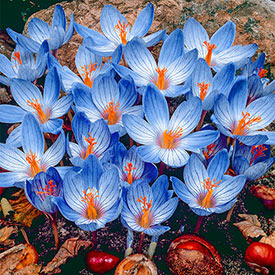 Conqueror Fall Crocus